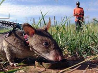 """研究新发现:一万五千年前就有了""""人鼠大战"""""""