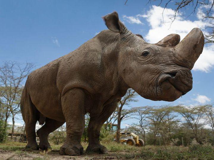 非洲犀牛角黑市价贵过黄金 20年内将灭绝?