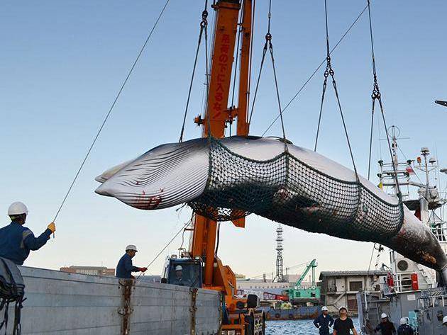 今年已捕杀177头鲸引公愤 日本为啥和鲸过不去