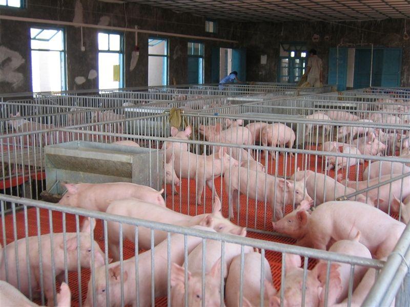 猪长得快是被催肥?这些小知识让你吃得更安全